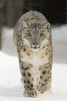 Snow leopard -Although the Snow Leopard is internationally regarded and legally protected