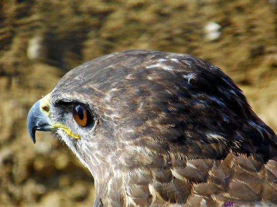bokamari Sólyomszem című képe az Indafotón. . címkék: alföld folyó hortobágy híd kilenclyukú kirándulás madár nádas portré színek sólyom állatkórház ősz