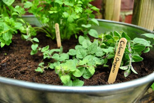 Yummy herbs in a galvinized-tub-garden! Perfection... one of my many mini-projects! (Also, who DOESN'T adore Young House Love?)