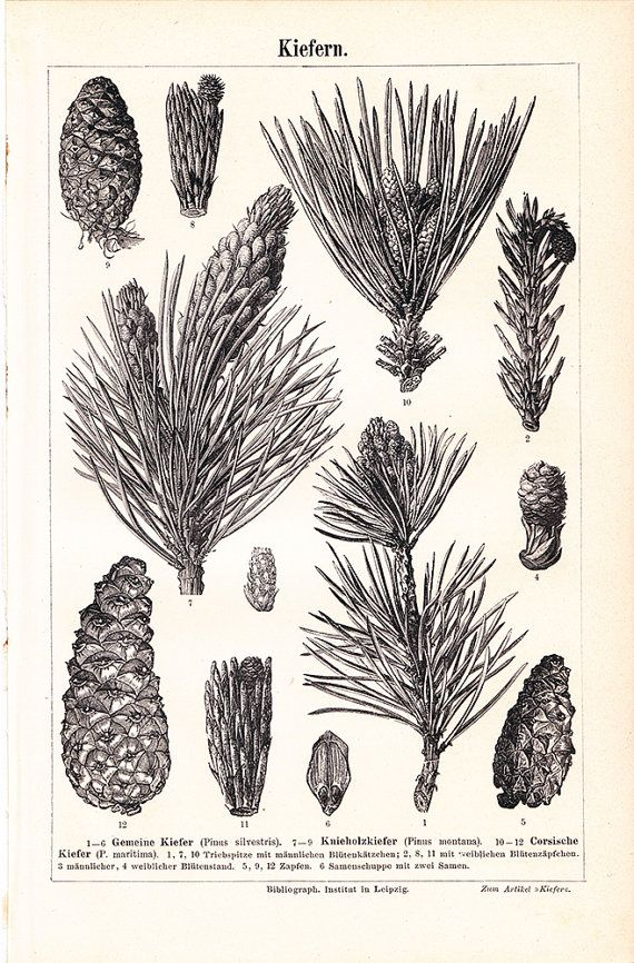 Vintage Botanical Print  Pine Illustration  Free Shipping