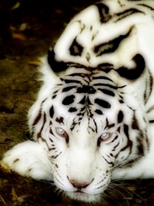 Beautiful snow tiger.