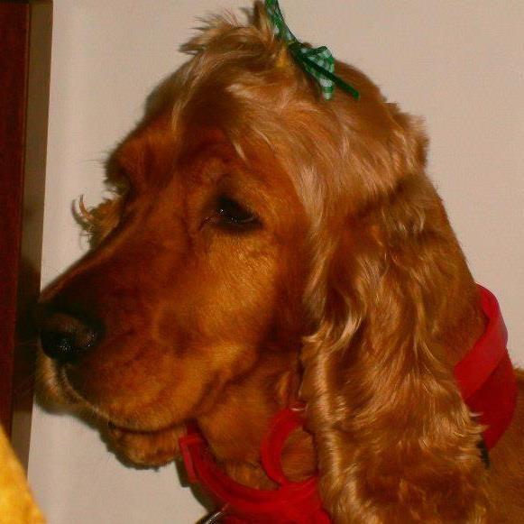 i love my Spaniel