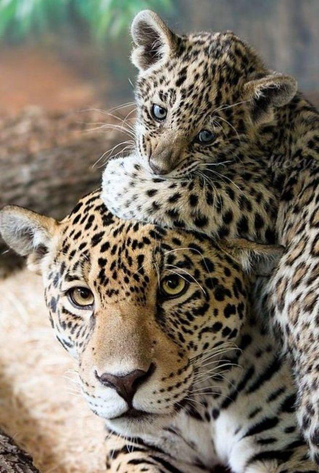 Como buenos felinos, el leopardo más pequeño juega con las orejas de su madre.