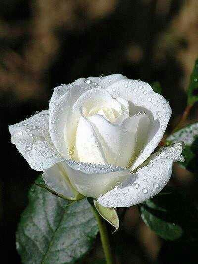 White Rose with Water Droplets                                                                                                                                                                                 More
