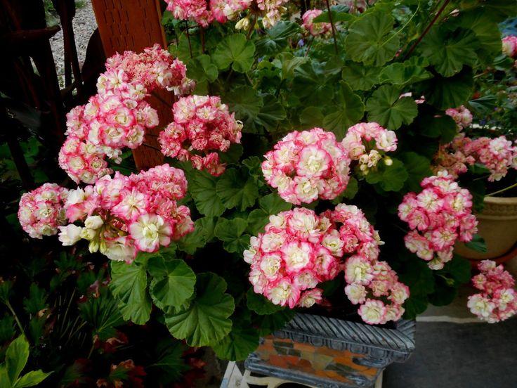 Gardening with Grace - Pelargonium 'Apple Blossom'