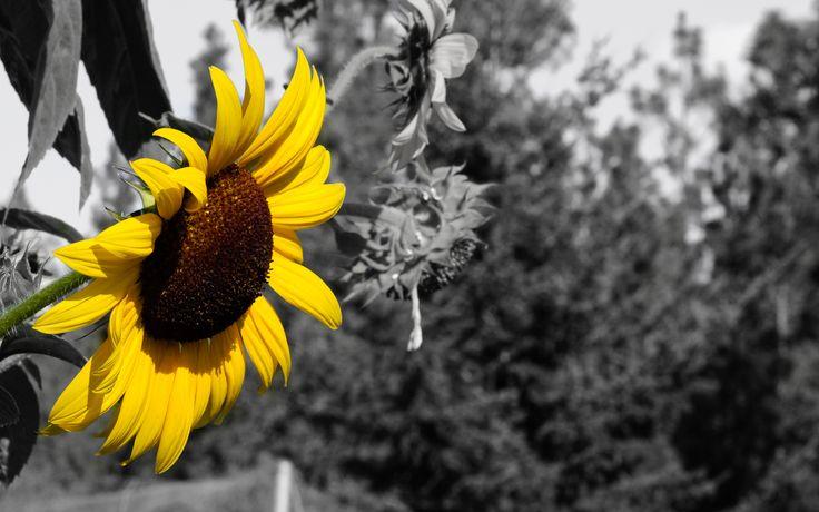 Más De 25 Ideas Increíbles Sobre Girasoles Fondos De En