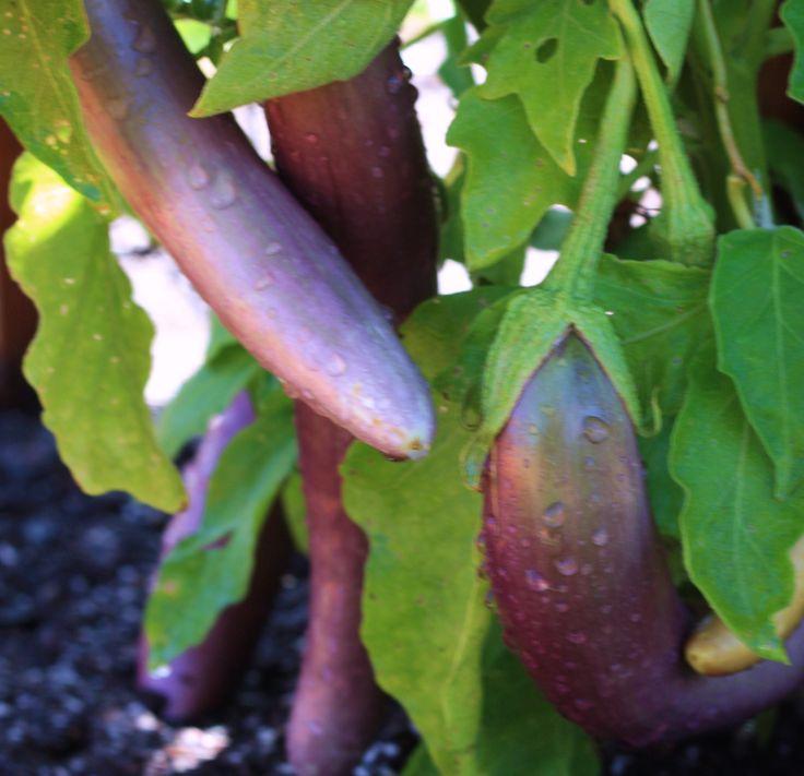 168 best Vegetables Fruit Herbs images on Pinterest Sonoma