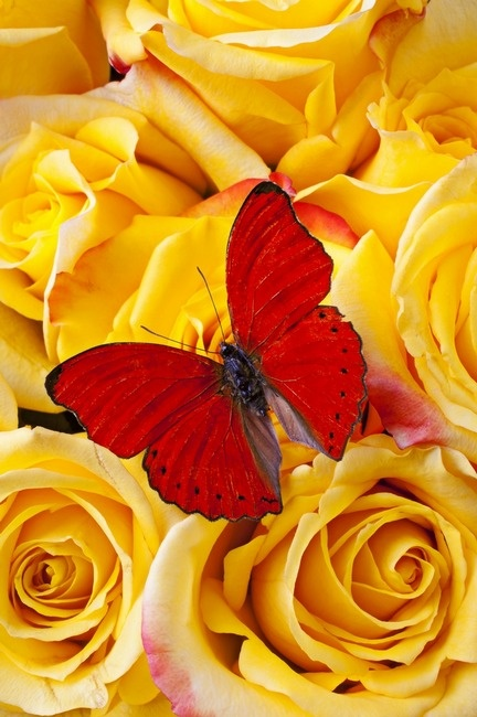 Red butterfly on yellow roses-beautiful