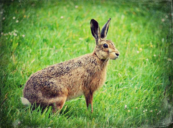 Wet hare (in the backyard)