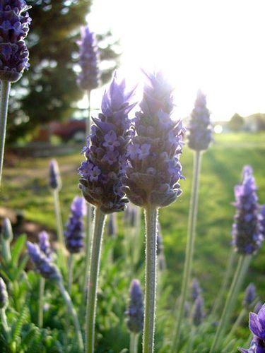 There's always more lavender to pick at this time of year..................