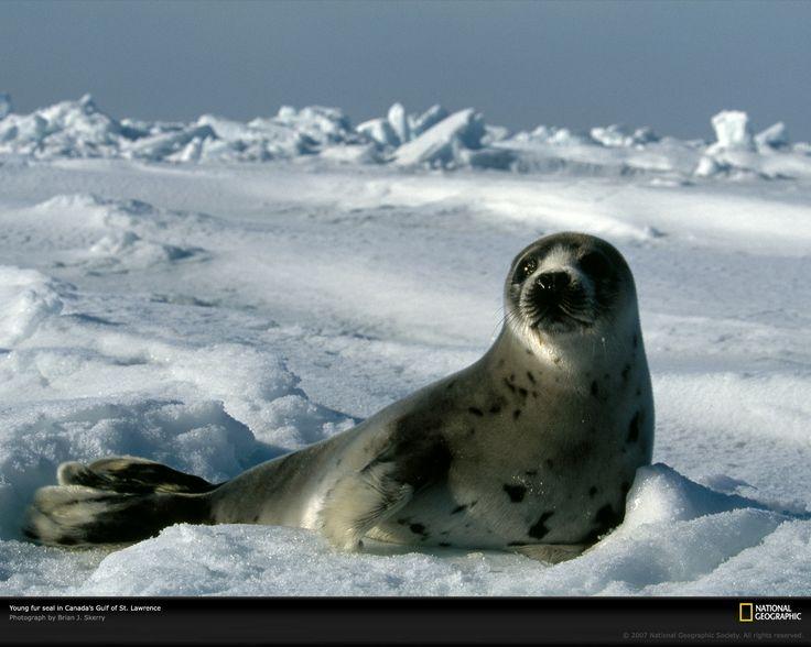 images of seals   1280 x 1024 pixels—best for larger/widescreen monitors