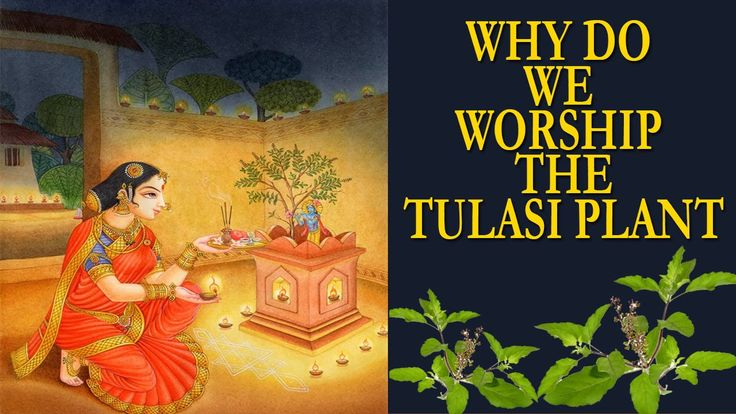 Why do we worship the Tulasi Plant - Health Benefits & Significance