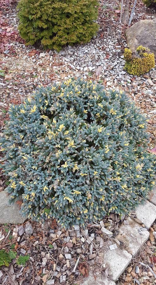 Johann Muster-foto......    Juniperus squamata Floreant