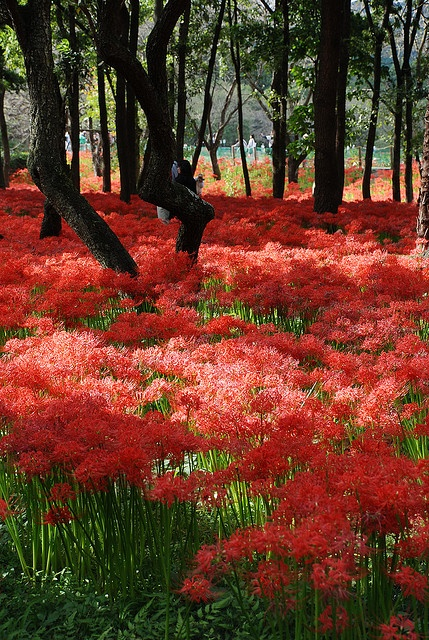 "Red Spider Lily forest (my grandmother called them ""Naked Ladies""!)"