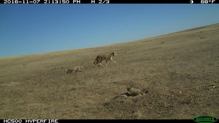 A field camera caught this amazing shot, which shows the coyote and badger trotting across the landscape with a prairie dog looking on in the foreground. (Photo: National Black-footed Ferret Conservation Center/Facebook)