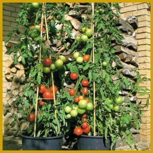 Obst und Gemüse auf dem Balkon.  Eine ganze Reihe von Gemüse - und Obstsorten gibt es, die fühlen sich in einem Balkonkasten oder in einem großen Kübel genauso wohl wie draußen im Garten. Allerdings: Nicht mit allen Arten werden Sie gleich viel Erfolg haben.   Wer noch gar keine Nutzpflanzenerfahrung hat, der sollte zunächst mit dem Gemüse beginnen. Das Obst auf dem Balkon, ist dann etwas für den erfahrenen Balkon-Nutzgärtner.   http://www.zimmerpflanzenfreunde.de/Obst_auf_dem_Balkon.html
