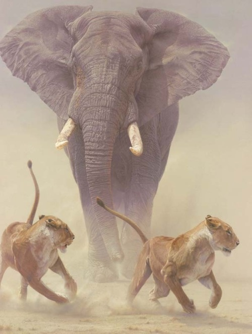 Lions running from an elephant.
