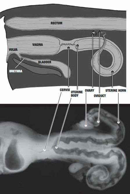 31 best cattle health vaccinations images on pinterest cattle diagram of the reproductive anatomy of a cow ai ccuart Images