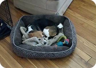 Dumfries, VA - Beagle Mix. Meet Violet, a dog for adoption. http://www.adoptapet.com/pet/16983825-dumfries-virginia-beagle-mix