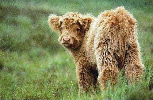 Fluffy Cow!