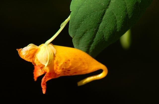 An Anti-Poison Ivy Weed May Be Growing in Your Backyard: Orange jewelweed.