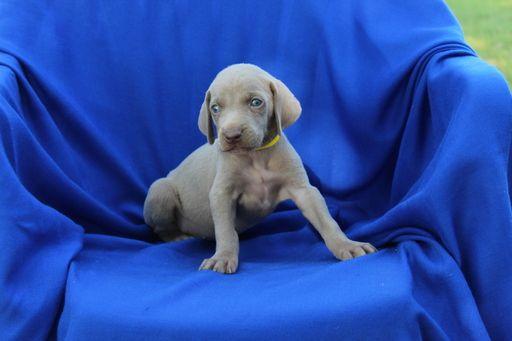 Weimaraner puppy for sale in HARRISON, AR. ADN-38663 on PuppyFinder.com Gender: Female. Age: 5 Weeks Old
