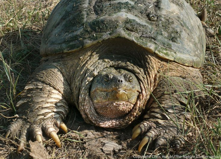 Snapping turtle / Location: everywhere