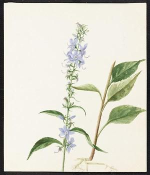 From the collection at Andersen Horticultural Library. Emma Roberts (1859-1948), a watercolorist from Minneapolis, founded the Handicraft Guild, and was supervisor of drawing for Minneapolis Public Schools. Emma painted Campanula Americana (Tall Bellflower) in Saint Paul. It is dated August 11, 1885.