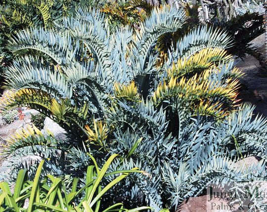"Encephalartos horridus.  This is a ""blue"" (plant speak for silvery plants) cycad from South Africa.  Blue cycads are by far a customer favorite.  There really aren't any plants which match the look of these."
