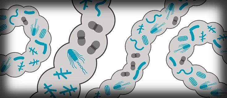 Suolistomikrobit voivat edistää sekä terveyttä että sairautta #hapis #hapankaali #rasilainen #rasilaisen