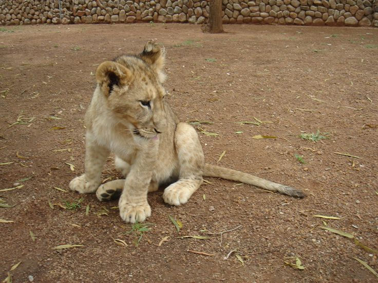 Interacting with 7 week old lion cubs.