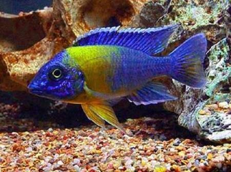 125 best Cichlids and Fish images on Pinterest African cichlids