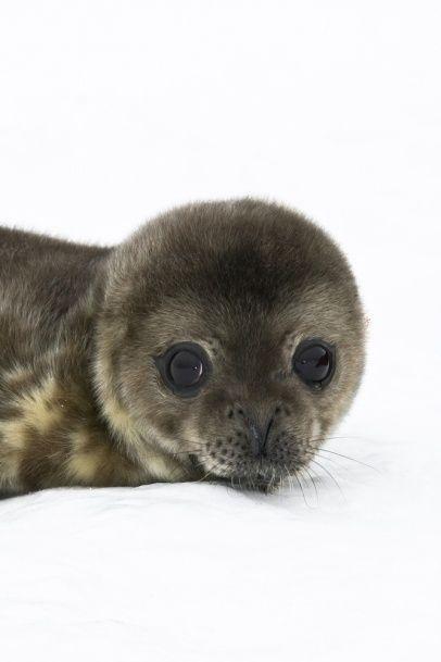 Seal pup in Antarctica by Volodymyr Goinyk
