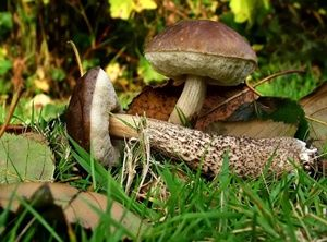 Wild mushrooms, I like the pics and discriptions on this sight.