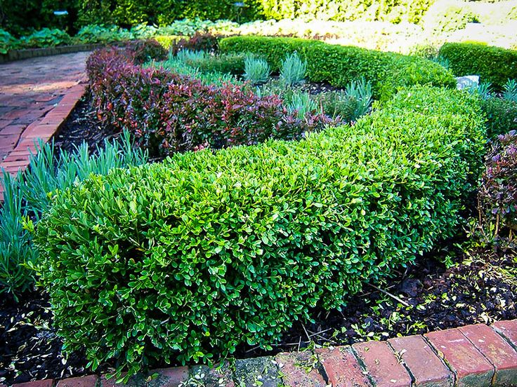 17 best ideas about wintergreen boxwood on pinterest for Green bushes for landscaping