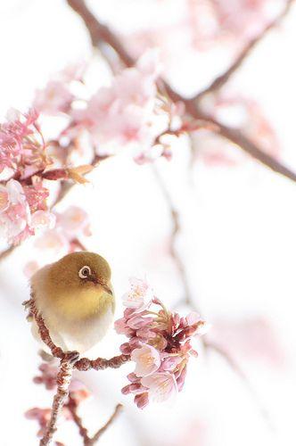 Bird of Japan... by myk on flickr