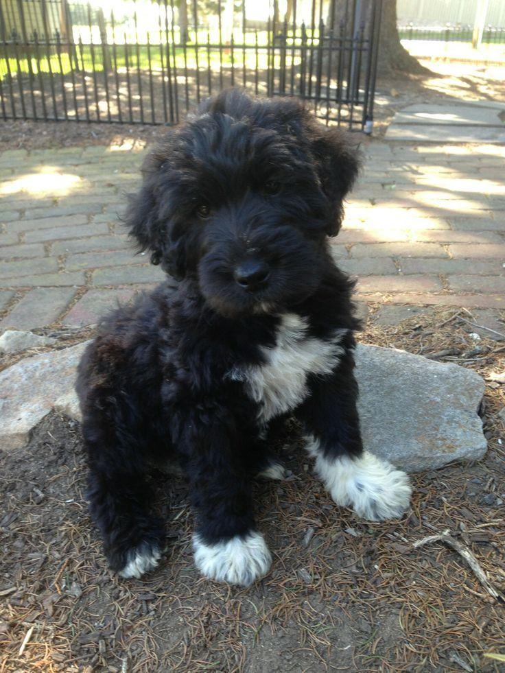 Cute Brown Puppy Schnoodle Cross Between A Schnauzer