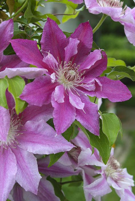 Clematis By Lucie Bilodeau