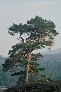 scots pine - Google Search