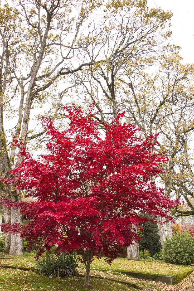 Bloodgood Japanese Maple has attractive foliage with burgundy red coloring that turns brilliant scarlet in fall. Interesting blackish red bark provides striking interest in winter. Slender, airy tree well-suited for use as a small lawn tree or for patios and entryways. One of the hardiest of Japanese maples, with good sun tolerance. Deciduous. Zone 5-8