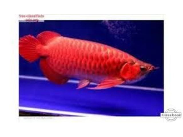 1000 images about color my world 2 on pinterest koi for Red arowana fish for sale in usa