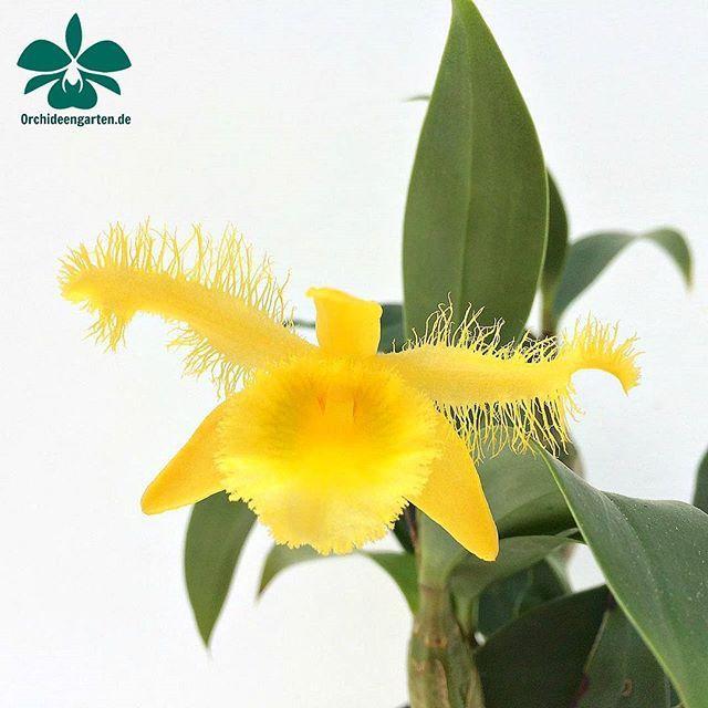 Dendrobium harveyanum  #orchids #Orchidee #Orchideen #OrchIDEENgarten #orquídea…    http://dennisharper.lnf.com/