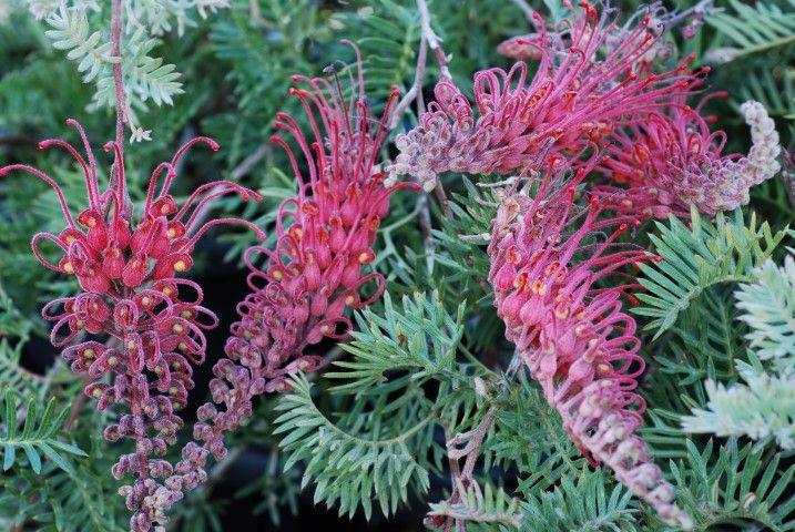 Grevillea Pick O The Crop --- For more Australian native plants visit austraflora.com
