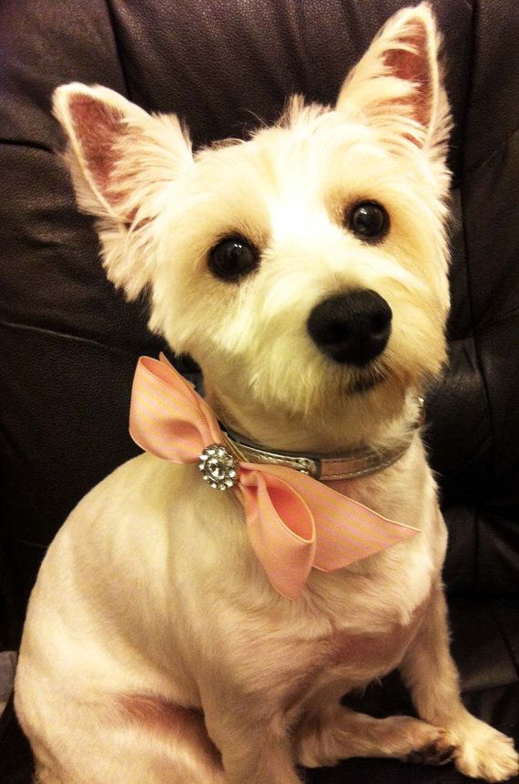 Oh, I know a dog who deserves this and would LOVE to wear it!  Dog Collar Bling  Rhinestone/Pearl Velcro Bow by SweetSeraphina, $10.50