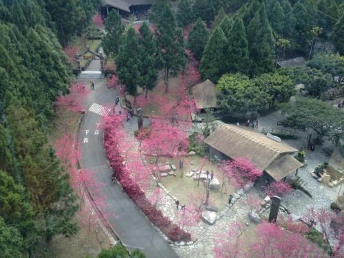 暖かな日曜日、友人とともに九族文化村に桜を見に行きました。<br />天気が良すぎて暑いくらいの陽気です。桜は臺灣の濃いピンクの桜が中心ですが、吉野桜等もあります。<br />夜はライトアップや光のパフォーマンスショーなども。<br />高鐵台中駅から九族文化村まで直行バス。往復340NT$(1200円くらいか)は、旧正月前の日曜ということで大増発。<br />ただし帰りは満員です。<br />纜車(ランチャー:ゴンドラ)を乗り継いで日月潭まで行ってきました