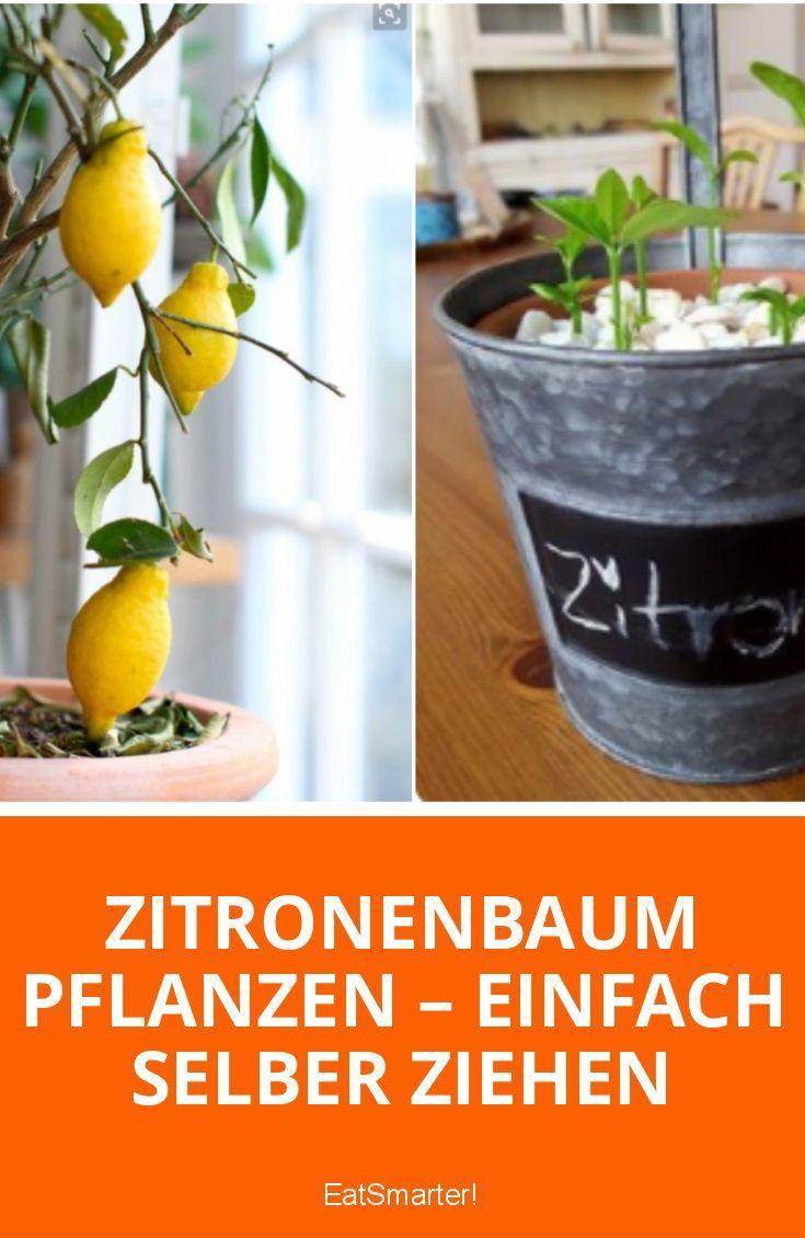 Zitronenbaum aus Zitronenkernen selber ziehen