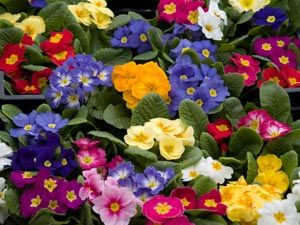 Just planted some of these in the front flower bed, we'll see how they do!  (And I am probably inviting a frost!)