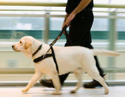 """Uma iniciativa do Sesi-SP vai permitir que trabalhadores da indústria de São Paulo se candidatem, a partir de 25 de abril, via internet, para receber um cão guia. A novidade irá atender 64 dos 1.173 trabalhadores que são cegos. Novas inscrições para interessados serão abertas em setembro. O treinamento dos cães acontece em três etapas...<br /><a class=""""more-link"""" href=""""https://catracalivre.com.br/geral/cidadania/indicacao/trabalhadores-da-industria-terao-direito-a-caes-guia/"""">Continue lendo…"""
