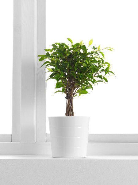 Plantas de interior resistentes ficus benjamina #Plantasdeinterior