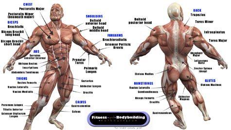 Bodybuilders anatomy chart
